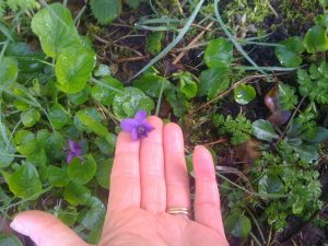 Local plants: Viola odorata   in herbal medicine