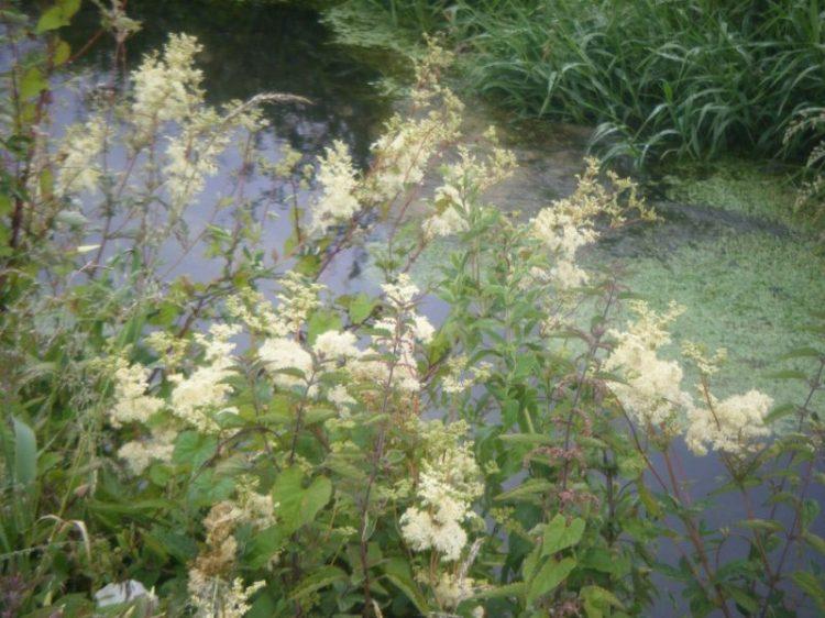 Local Herbs – Filipendula ulmaria