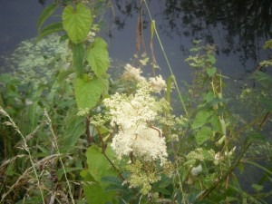 Local Herbs   Filipendula ulmaria   in herbal medicine