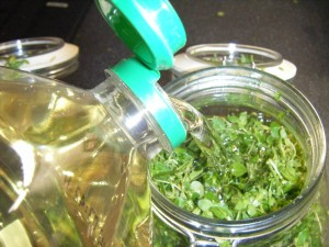Chickweed Infused Oil   in herbal medicine
