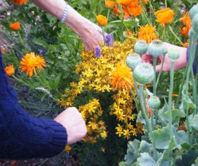 harvestinghypericum 28-12-2010 12-37-23 a