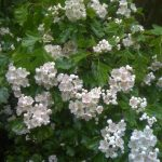 Hawthorn in 'ball' and flowering stage