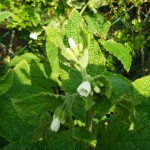 Comfrey - knitbone. Symphytum officinalis. what a wonderful medicine! I could wax lyrical for hours about this plant but suffice to say here that the healing action on broken bones is surpassed by none.  Here is the white flowering comfrey but you will also see it in blue/purple
