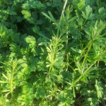 Galium aparine. Goose Grass, sticky bud. Kidney/lymphatic action. This plant is best used fresh as it looses its medicinal action once dried. Tincture it, use it in a cold infusion or pop it through your juicer. Use it with Calendula and Echinacea for Tonsilitis.