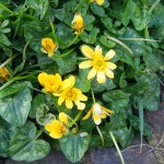 Lesser Celandine or Pilewort, the roots of this pretty flower do resemble piles... make a salve...