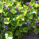 Wild Violet: a herald of springtime along with lesser celandine. I love this flower deeply and have a special patch that I visit to harvest the flowers and leaves to make an oil for healing skin, lumps bumps and cysts